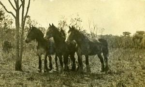 Horses Batchelor Farm 1912