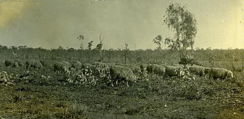 Merino Sheep Batchelor Farm 1912